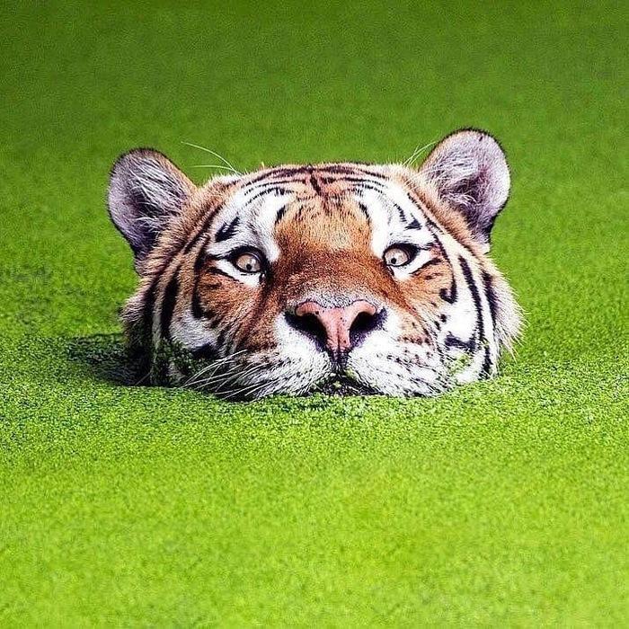 Тигр в ряске