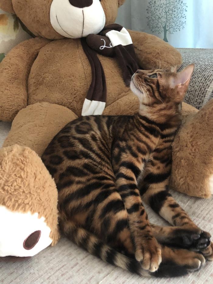 Кот, который понимает 4 языка Бенгальская кошка, Кот, Лингвистика, Любовь, Длиннопост