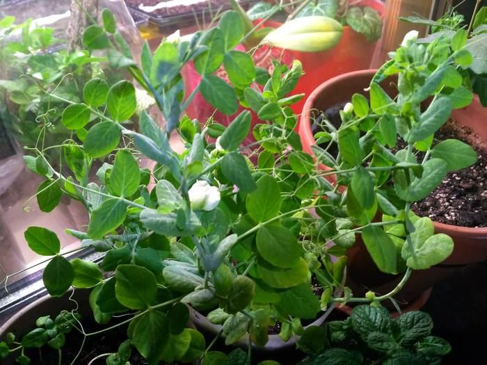 Зеленый горошек на балконе Растения на балконе, Балкон, Огород на подоконнике, Растения, Зеленый горошек, Длиннопост