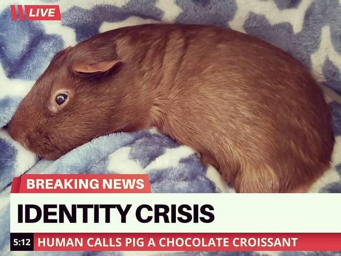 """Кризис идентичности. Люди называют свинью """"печенькой"""" Морская свинка, Коллаж"""