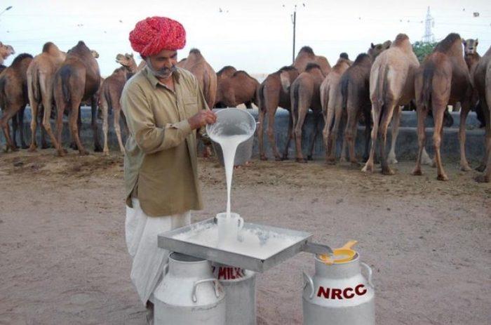 Какое молоко, кроме коровьего, употребляют в пищу. Продукты питания, Молоко, Длиннопост