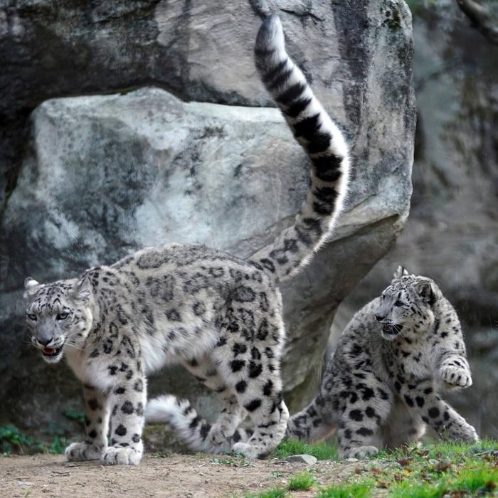 Прыг Барс, Прыжок, Кот, Животные