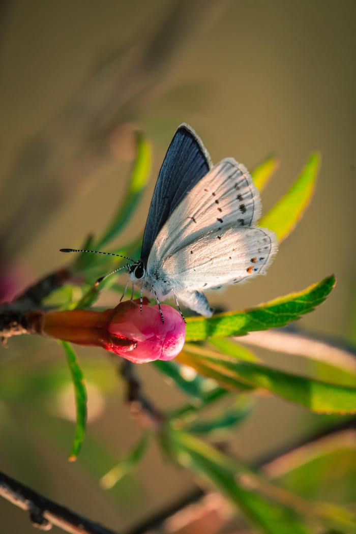 Бабочка Макросъемка, Фотография, Бабочка, Голубянка