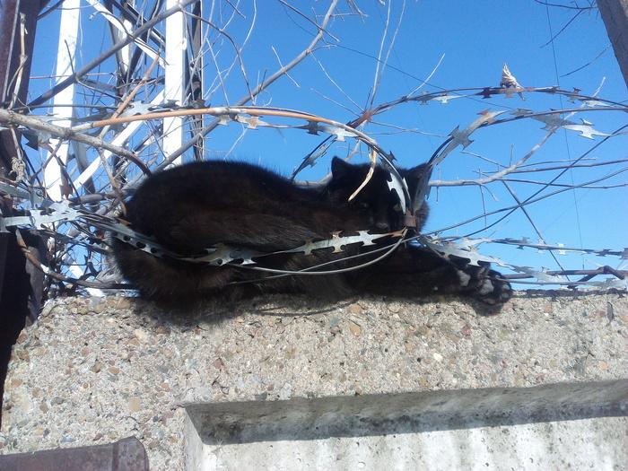 Греется. Видимо удобно. Котомафия, Черный кот, Забор, Колючая проволока