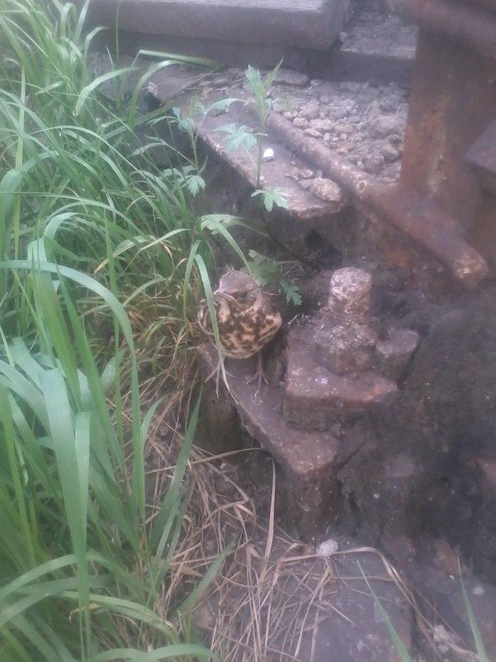 Навеяно постом про маленьких дроздов Птицы, Дрозд, Длиннопост
