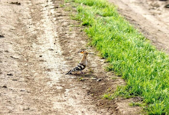 Удод (лат. Upupa epops) Удод, Птицы, Начинающий фотограф, Орнитология