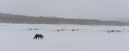 История медведя-шатуна Медведь, Шатун, Смерть, Голод, Зима, Длиннопост, Игорь Шпиленок