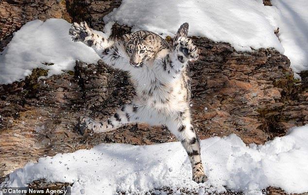 Я снежинка: снежный барс развлекается в Монтане, США Снежный барс, Заповедник, Фотография