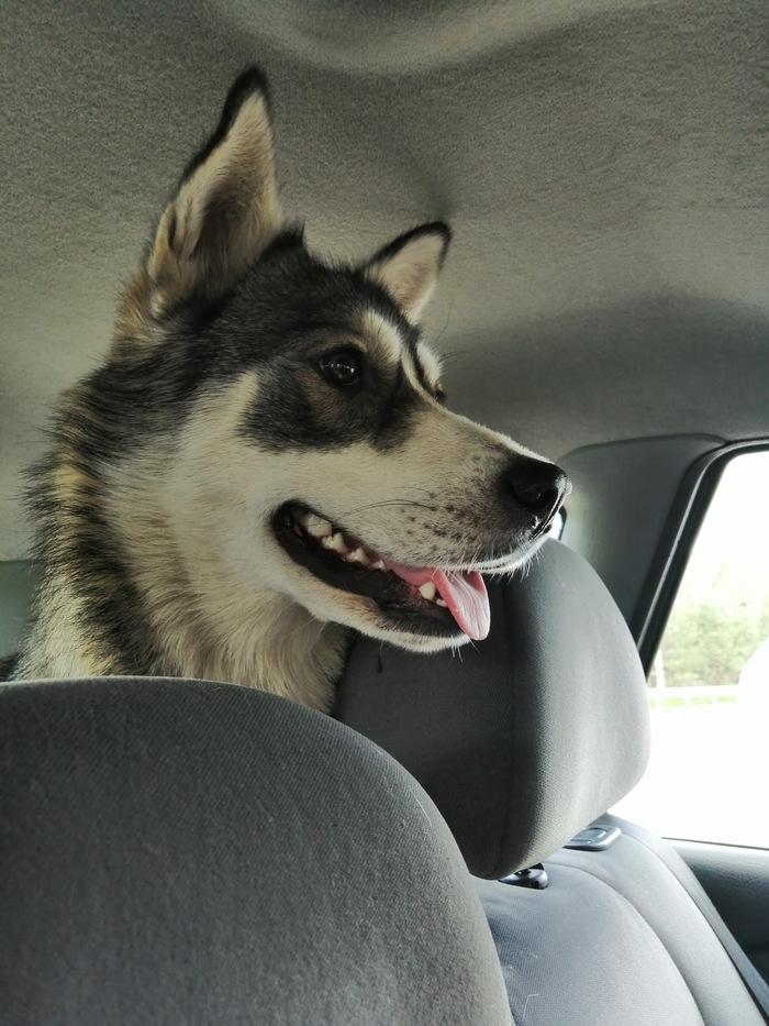 Собака ищет дом Помощь животным, Сибирский хаски, Собака, Найдена собака, Потеряшка, Длиннопост, Без рейтинга