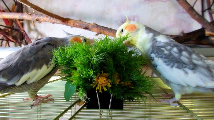 Сезон зелени открыт! Птицы, Попугай, Корелла, Воробей Тоша, Питание, Зелень, Длиннопост