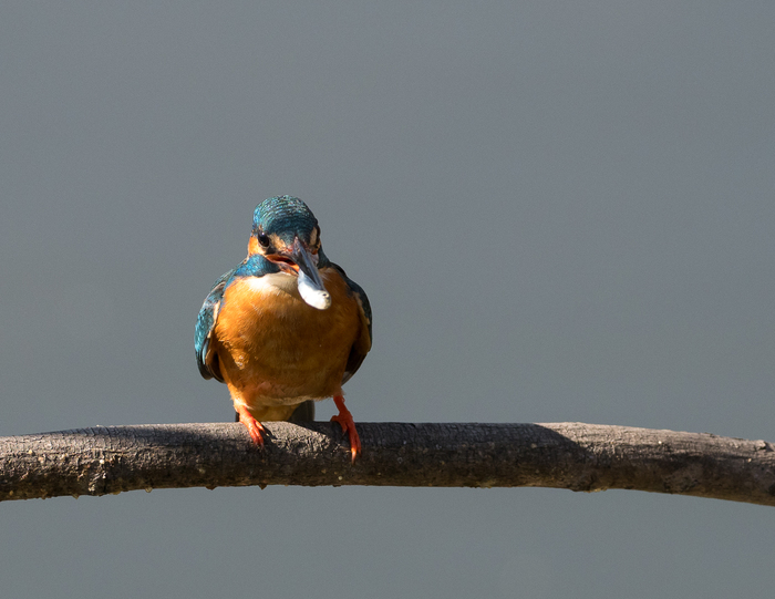 Зимородки Зимородок, Птицы, Фотоохота, Рыбак, Длиннопост