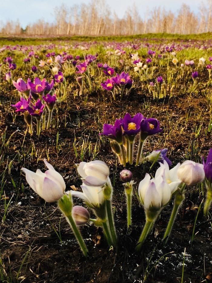 Гора подснежников. Подснежники, Дорога, Цветы, Медитация, Красота природы, Длиннопост