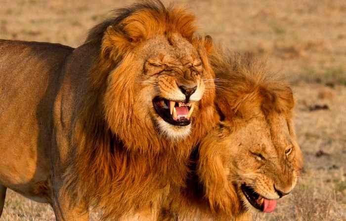Улыбка льва