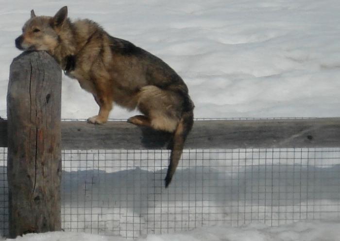 """""""пограничная"""" собака Собака, Животные, Домашние животные, Питомец, Фотография, Забор, Охрана"""