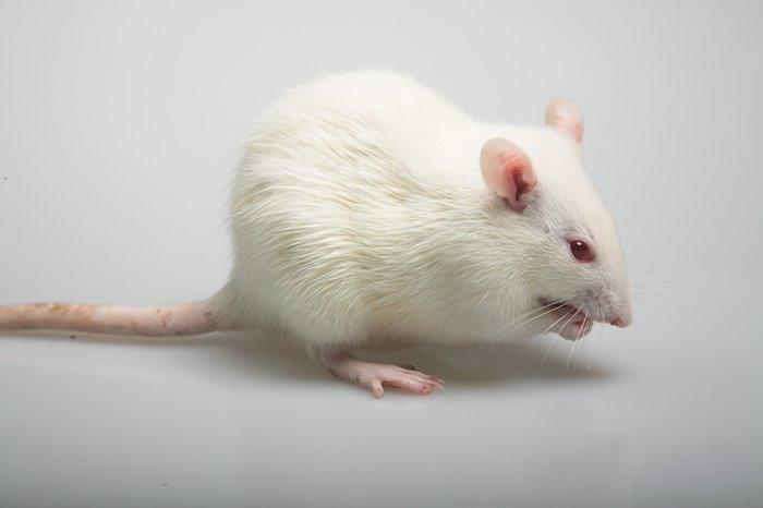 Зачем нужны крысы-гипертоники? Академгородок, Генетика, Крыса, Гипертония