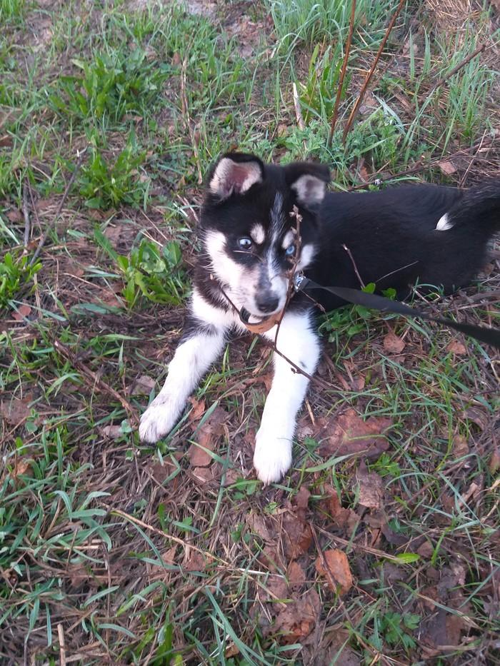 Новый член семьи))) Хаски, Сибирский хаски, Член семьи, Длиннопост, Собака