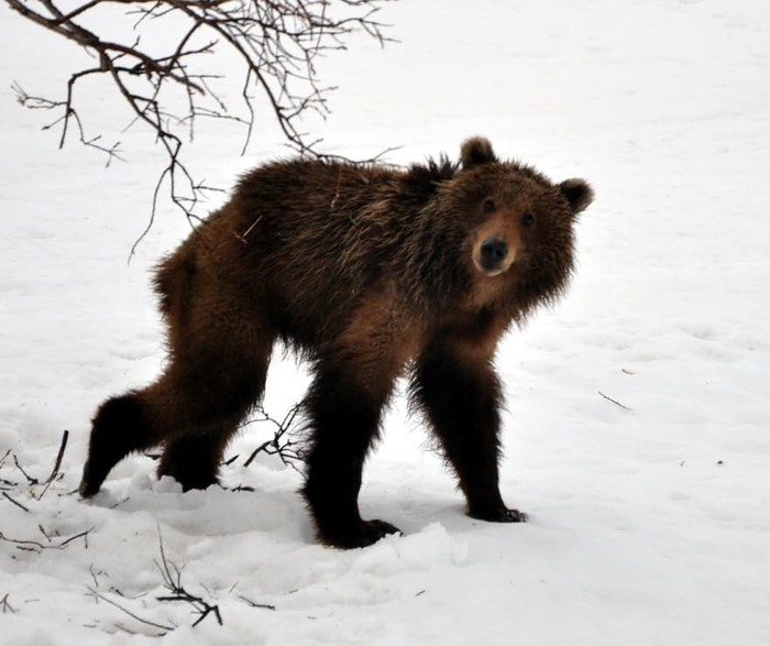 Проснулся Фотография, Животные, Дикая природа, Медведь, Весна, Камчатка, Лиана Варавская