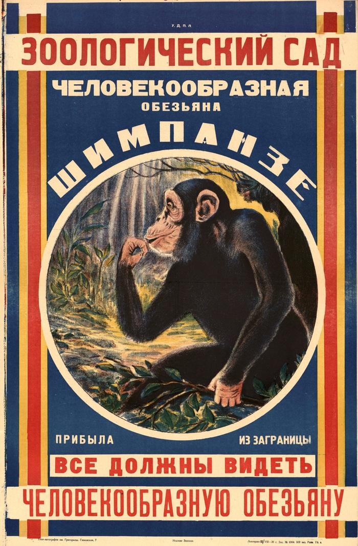 «Зоологический сад. Человекообразная обезьяна шимпанзе прибыла из-за границы. Все должны видеть человекообразную обезьяну». СССР, 1936 СССР, Плакат, Советские плакаты, Зоопарк, Животные, Зоология, Обезьяна, Шимпанзе