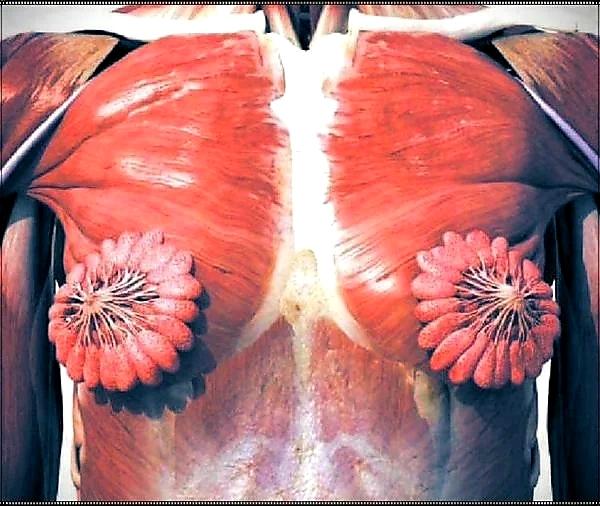 Так выглядит женская грудь. Анатомия, Грудь, Сиськи