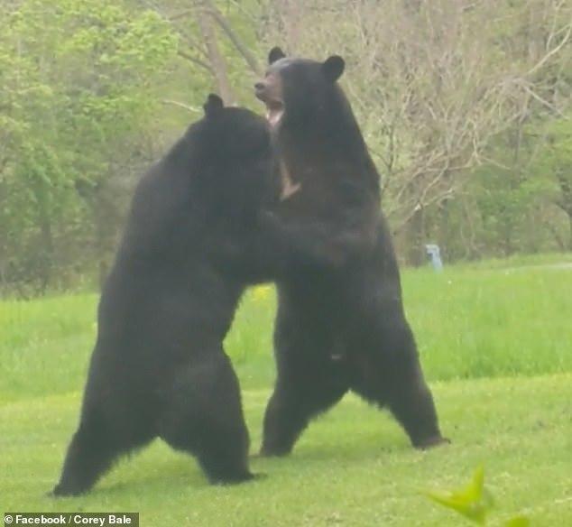 Просто два медведя решили подраться у американца во дворе Медведь, Драка, Видео, Длиннопост