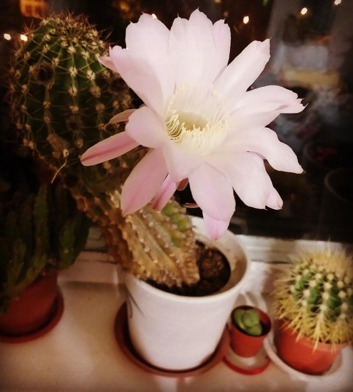 Цветет Кактус, Цветок, Цветы, Цветение, Фотография, Флора, Цветочный горшок, Цветоводство