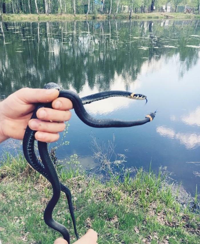 Люблю змей... Весенние ужи Уж, Змея, Весна, Длиннопост
