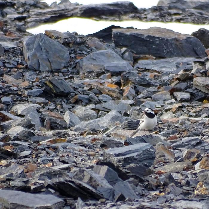 Белая трясогузка в камнях