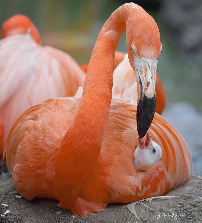 За маму, за папу... Фотография, Птицы, Фламинго, Птенец, Милота