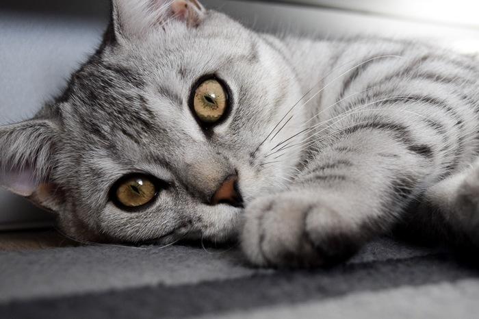 Фотосессия для кота. Почему бы и да) Кот, Котомафия, Шотландская прямоухая, Домашний любимец, Длиннопост