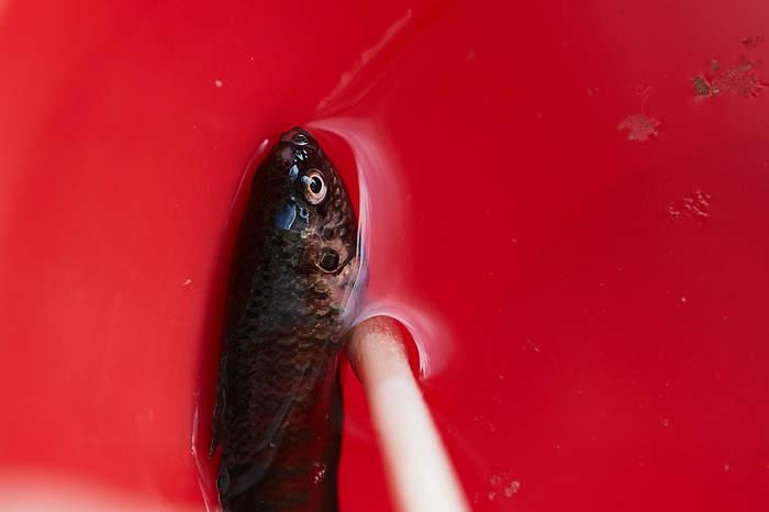 Заболел и умер макропод Аквариум, Аквариумные рыбки