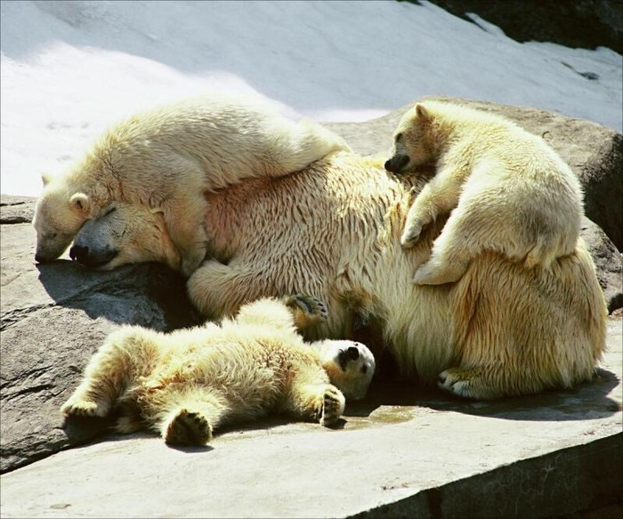 Спать... Фотография, Белый медведь, Медведь, Шутка