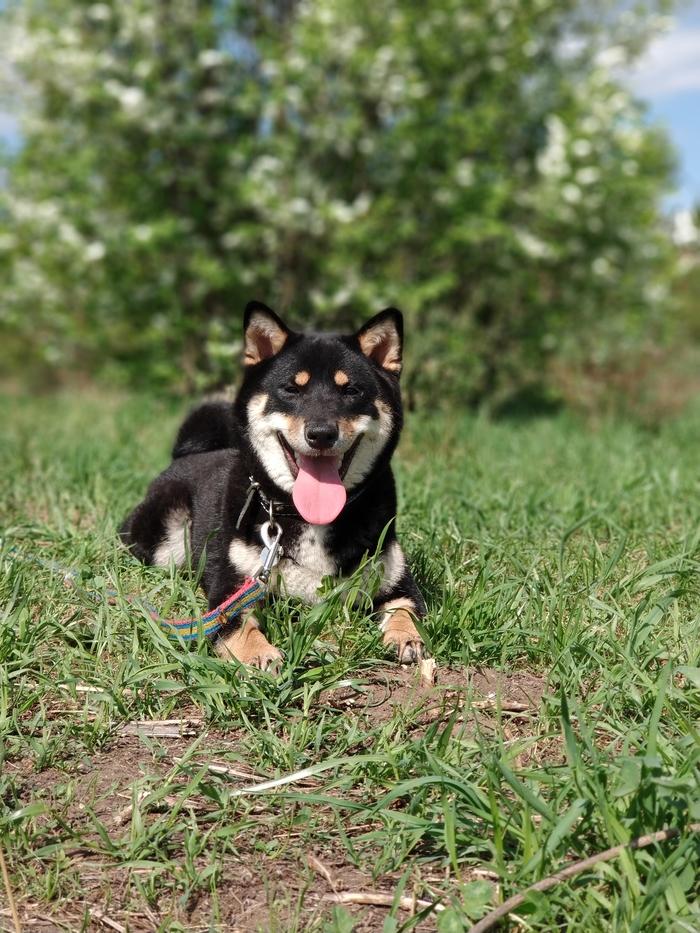Моя Макки 5 Питомец, Казань, Собака, Сиба-Ину, Длиннопост