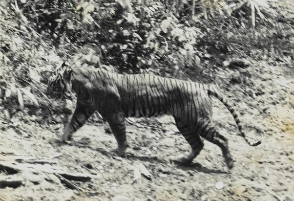 Остаться в живых Тигр, Амурский тигр, Длиннопост