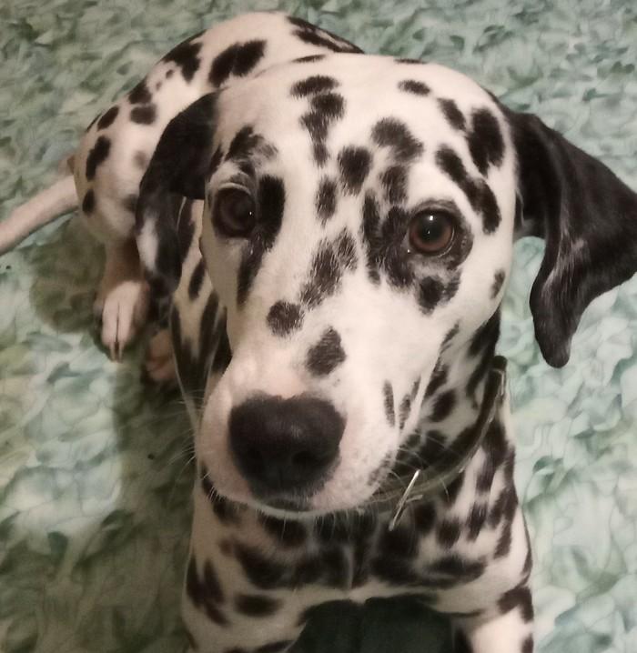 Собака, самый лучший друг человека... Собака, Жена, Преданность, Далматин, Анекдот, Лабрадор, Счастье, Длиннопост