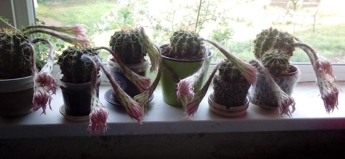 Послецветие Кактус, Красота, Эхинопсис, Цветы, Семена, Длиннопост