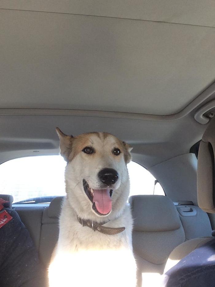 Пропала собака,помогите найти Длиннопост, Собака, Пропала собака, Без рейтинга, Колпино, Санкт-Петербург, Помощь