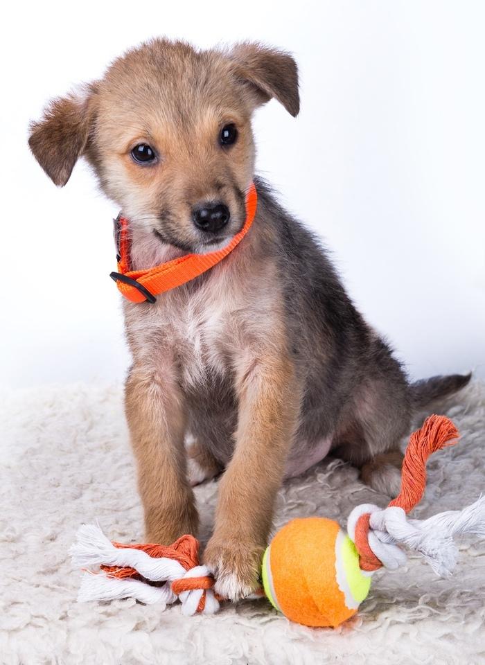 Замечательный щенок ищет дом (Обнинск) Собака, В добрые руки, Ищет семью, Домашние животные, Помощь животным, Длиннопост, Обнинск, Без рейтинга
