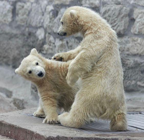 - Давай обнимимся Фотография, Медведь, Белый медведь, Детеныш, Животные