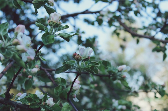 Цветение Фотография, Цветение, Весна, Яблоня, Canon