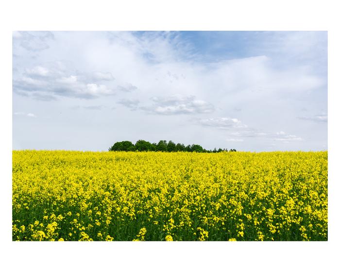 Цветущий рапс Фотография, Природа, Красота природы, Весна, Цветы, Могилев, Беларусь
