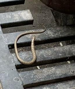 Кто это? Змейка, Вопрос к пикабушникам, Террариумистика, Ящерица