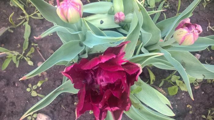 Ожидание vs реальность Тюльпаны, Выращивание, Огород, Ожидание и реальность, Длиннопост