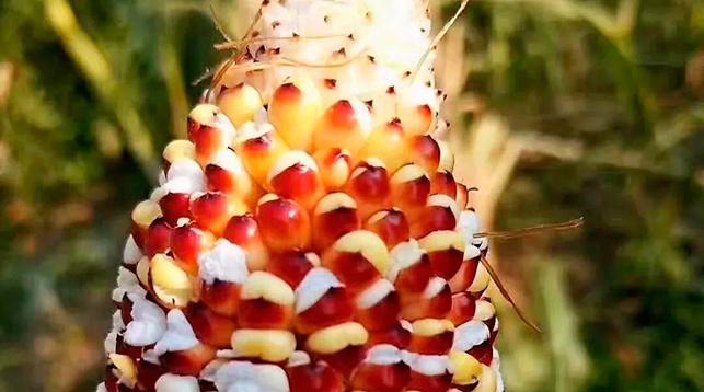 Кукуруза из-за жары превратилась в попкорн прямо в поле Кукуруза, Урожай, Поле, Попкорн, Жара