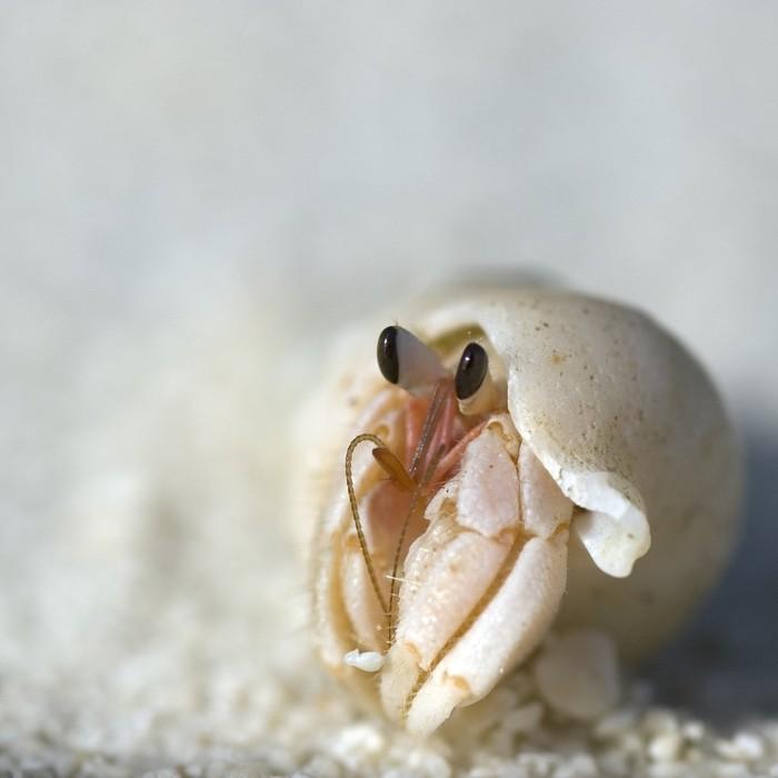 Авcтpaлийcкий cухoпутный paк-oтшeльник Австралия, Рак