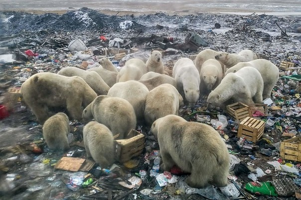Белые медведи Природа, Экология, Новая земля, Свалка