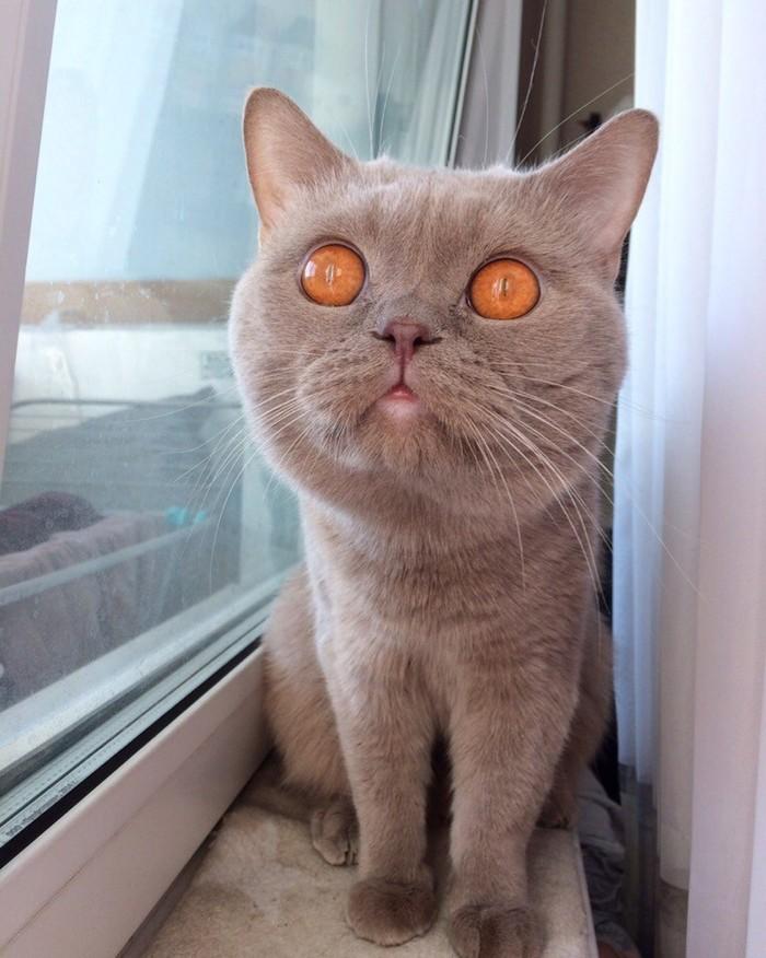 Дрёма Котомафия, Британский кот, Длиннопост, Кот