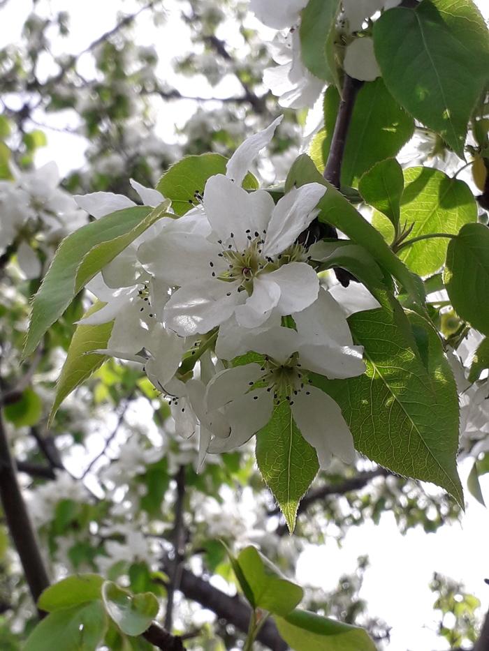 Яблоневая нежность