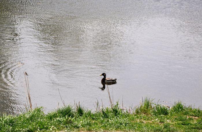 Утки в озере Утка, Озеро, Природа