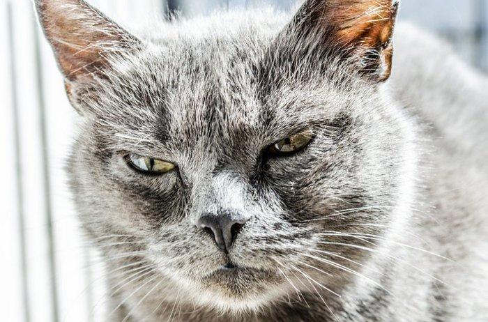 Ревнуют ли кошки Кот, Длиннопост, Животные, Ревность