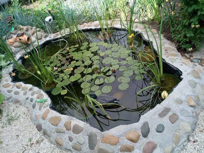 Расцвели уж давно лотосы в пруду Лотос, Кубань, Пруд, Длиннопост